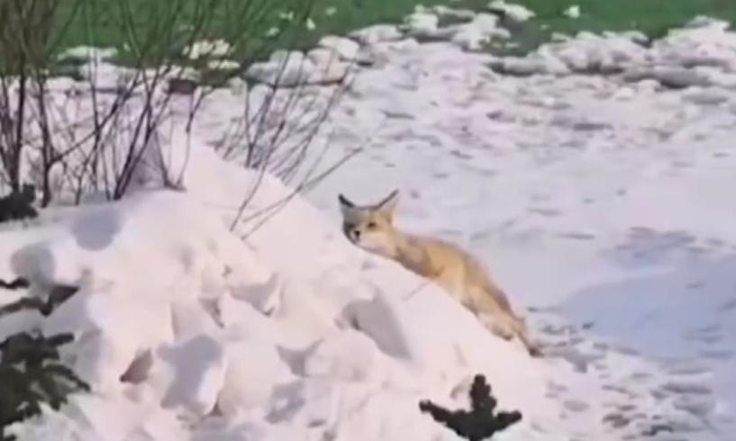 野生小赤狐到人工草坪打滚撒欢西宁防洪评价